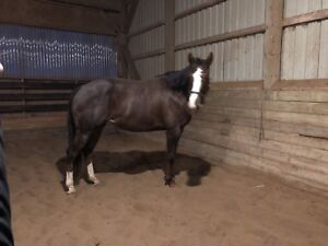 Flashy large pony for sale/lease