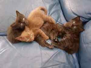 Layanese & Burmese X Kittens Mansfield Brisbane South East Preview