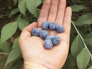 BLUEBERRY Tree Glenorie The Hills District Preview