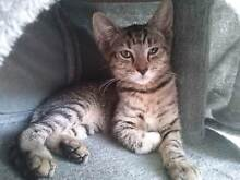 **PAWS OF PROMISE - TILLY - FEMALE - DSH - 10 WEEKS** Davoren Park Playford Area Preview