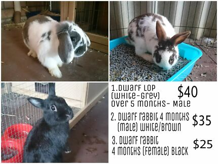 Dwarf lop/Rabbits with Cage Kardinya Melville Area Preview