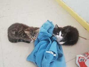 kittens 2 black and white longhaired and a short haired