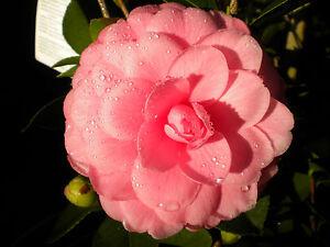 Camellia japonica camelia var mrs tingley bella pianta for Pianta camelia