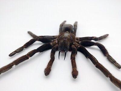 LARGE SPREAD Taxidermy Tarantula Spider Eurypelma spinicrus Indonesian Specimen