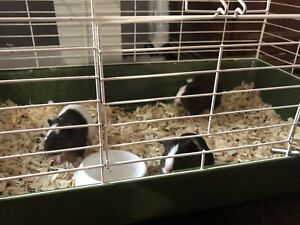 3 Guini pig baby's for sale weaned