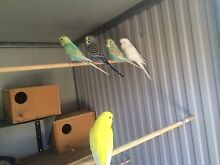 Adult & young budgie Oxenford Gold Coast North Preview