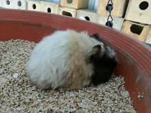 Guinea Pigs for sale Karoonda Area Preview