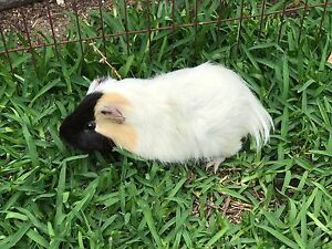 Male Guinea pig Harrington Greater Taree Area Preview