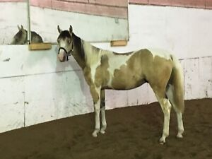 Registered paint yearling.