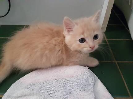 Ragdoll x persian kittens