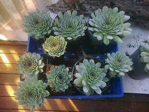 Heaps of Succulents for Sale Otago Clarence Area Preview