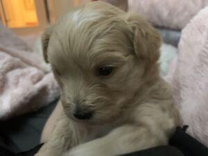 Maltipoo pups -HYPOALLERGENIC, NON SHEDDING