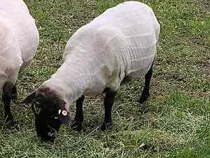 SUFFOLK BLACK FACE RAMS SHEEP Eden Park Whittlesea Area Preview