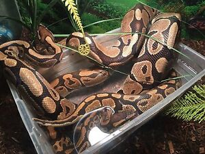 Ball pythons two for $100