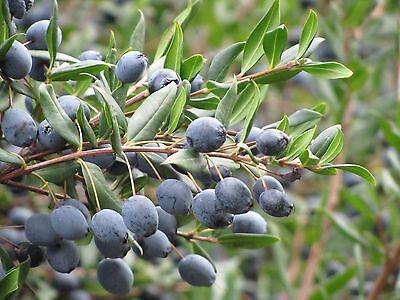 10 pz pianta giardino siepe cespuglio mirto vaso ø 7  h  25 cm Myrtus communis