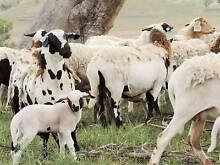 Damara Dorper X 42 Ewes and 34 Lambs Manilla Tamworth Surrounds Preview