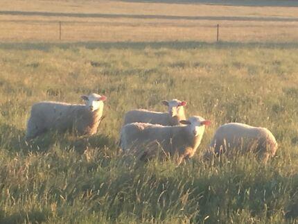 White suffolk lambs