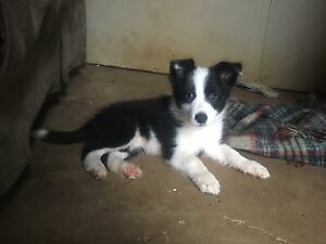 stunning border collie girl Gympie Gympie Area Preview