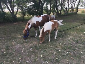 Mare With Colt At Side