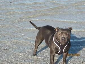 Blue Staffy For Sale : Blue staffy pups for sale dogs puppies gumtree australia
