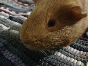 Friendly Male Guinea Pig and indoor cage Forrestdale Armadale Area Preview