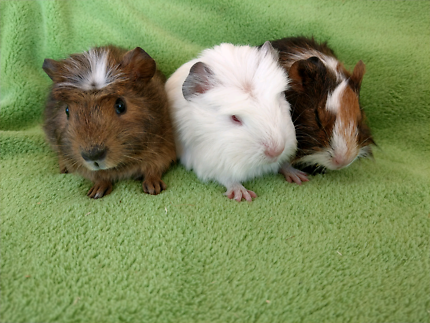#♥GUINEA PIGS START UP DEAL 70cm indoor cage $190 G-FORCE package