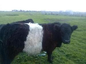 belted galloway friendly pet Tullamarine Hume Area Preview