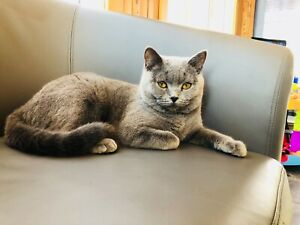 Blue Kittens For Sale : British shorthair adopt cats & kittens locally in toronto gta