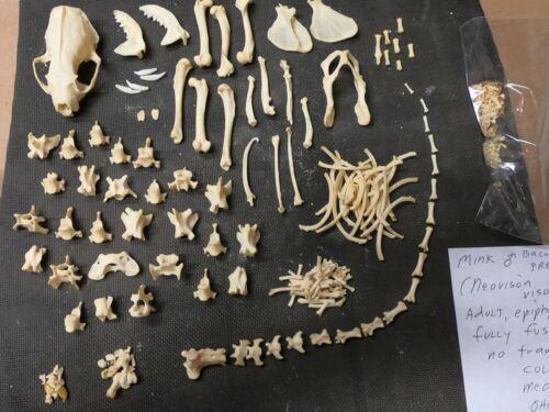 Taxidermy skeleton real mink Neovison vison dissarticulated  sorted