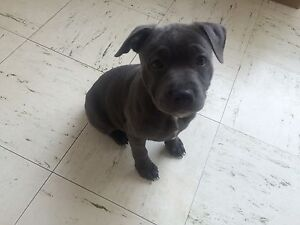 Purebred blue English Staffordshire pup to good home! Wantirna South Knox Area Preview