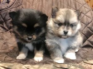 1 male 1 female GORGEOUS fluffy tiny POMSKY PUPPIES