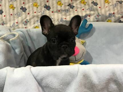 Papered Pure Bred French Bulldog Puppies