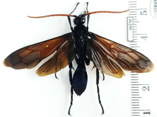Hymenoptera Pompilidae Pepsis sp. Panama