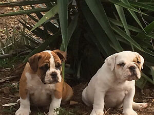British Bulldog Female Puppies Rosewood Ipswich City Preview