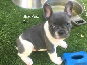 French Bulldog pups, m&f, fully vacc, reg. breeder, ready now.