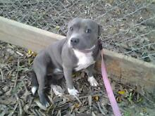BLUE ENGLISH STAFFY girl pup 11 months reg. imported bloodlines. Beerwah Caloundra Area Preview