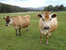 Jersey Cows x 2 Grove Huon Valley Preview