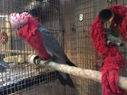 Galah for sale Box Hill South Whitehorse Area Preview