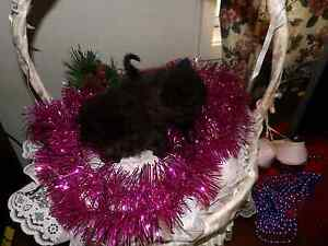 Exotic and Persian kittens Taree Greater Taree Area Preview