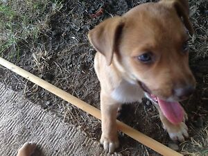1 cute Puppy left! UPDATE: ALL SOLD Woodford Moreton Area Preview