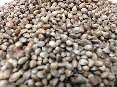 Hemp Seeds Nuts 1.5 LB (1lb 8oz) -Wholesale Pricing /Best (Best 1 8 Buggy)