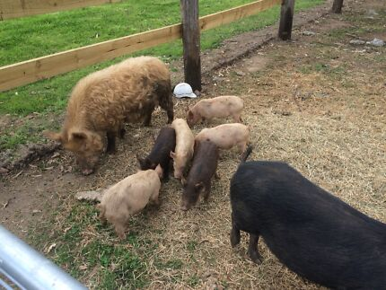 Miniature Pigs Taylors Hill Melton Area Preview