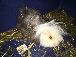 2 x Male Long haired Guinea pig + cage Horsley Park Fairfield Area Preview
