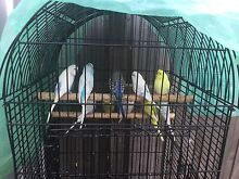 BUDGIES MALES AND FEMALES $15 EACH Meadow Heights Hume Area Preview