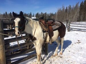 2 year old paint gelding