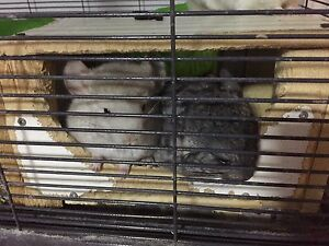 Two babe chinchillas for sale