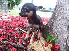 CHOCOLATE  PURE BRED CHIHUAHUA  FEMALES  PUPPIES Broadbeach Waters Gold Coast City Preview