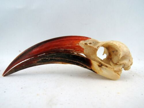 Red-billed Hornbill (Tockus erythrorhynchus) Bird Skull RBH11411