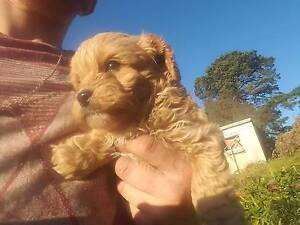 Cavoodle pups. Two apricot males available Launching Place Yarra Ranges Preview