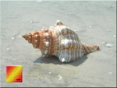 """Extra Large Striped Fox Conch Shell (Trapezium Horse Conch) 7""""+ Beach Wedding"""